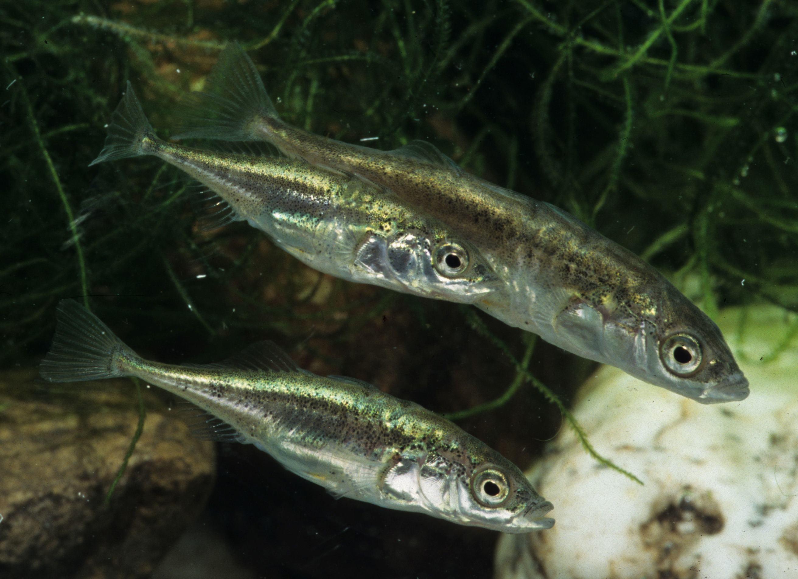 Колюшковые рыбы фото