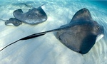 Stingray fishes