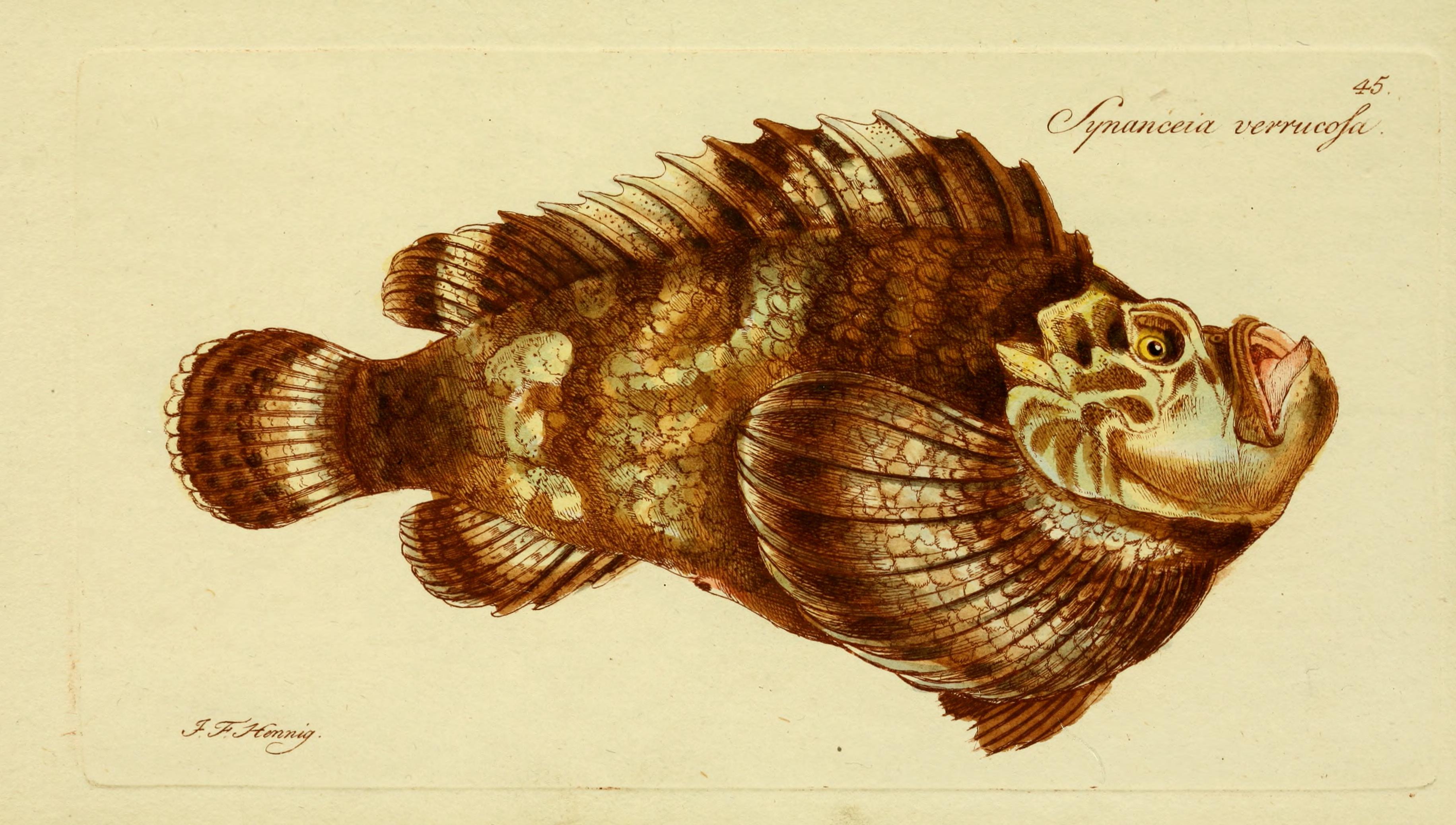 Stonefish wallpaper