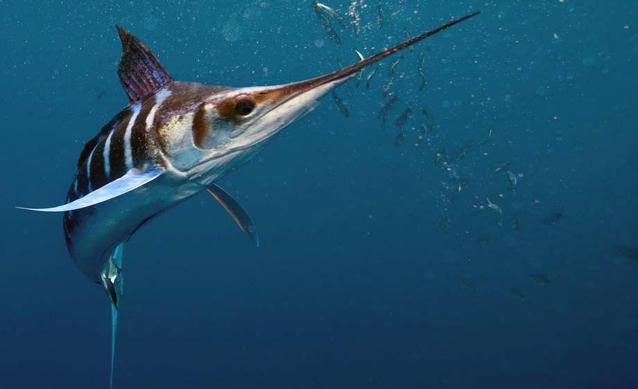 Марлиновая полосатая рыба  фото