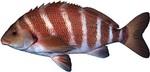 Полосатая морвонговая рыба
