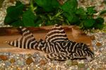 Striped Velvet catfish