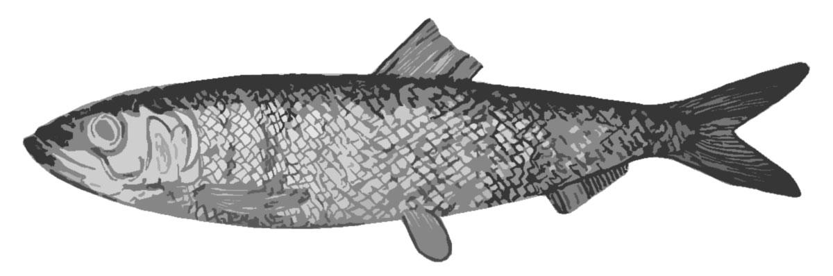 Sundaland noodlefish wallpaper