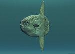 Sunfish (mola mola) portrait