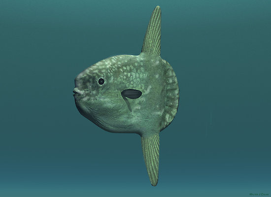 Sunfish (mola mola) portrait wallpaper