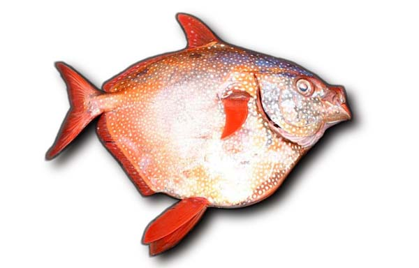 Sunfish (opah) wallpaper