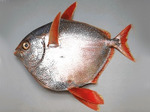 Sunfish (opah) side view