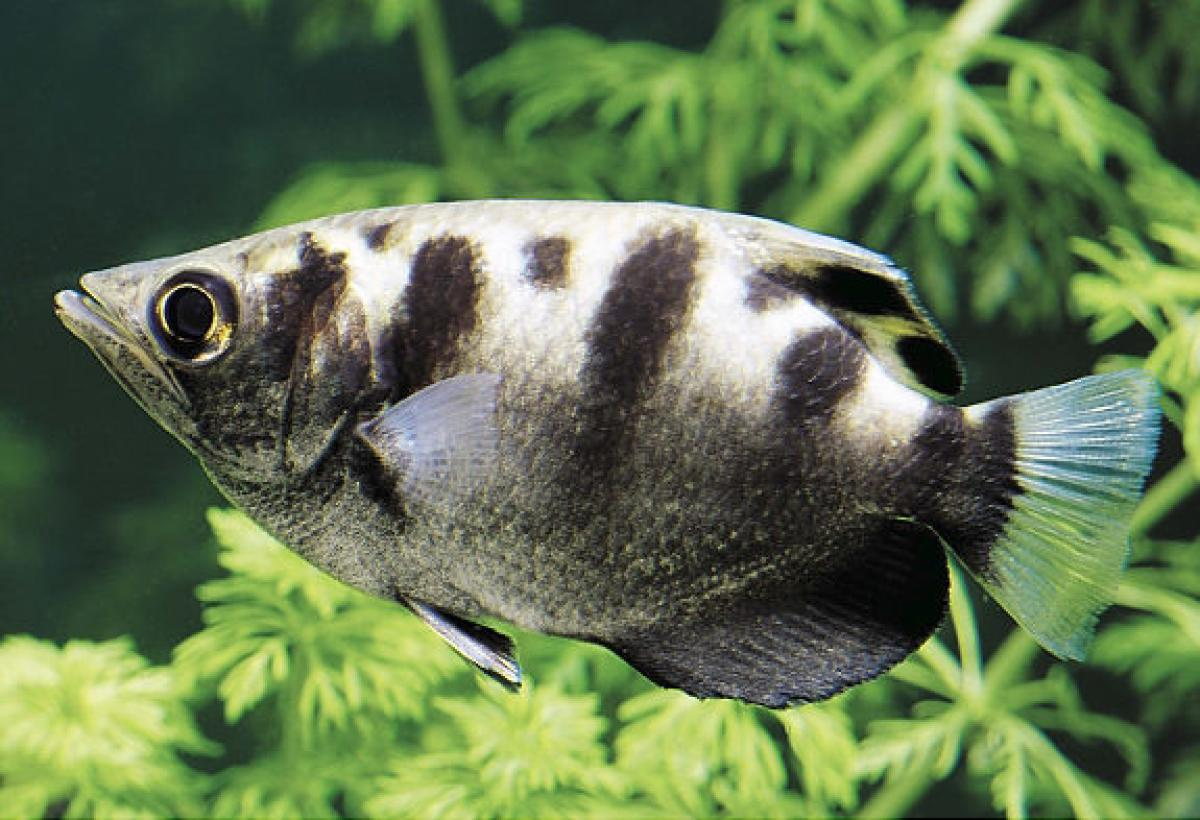 Super Archerfish wallpaper