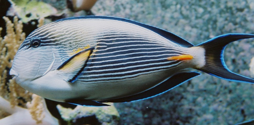Surgeonfish wallpaper