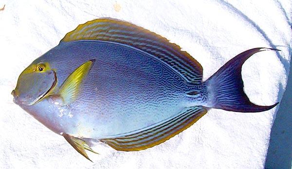 Хирурговая рыба вид сбоку фото