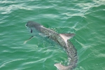 Swimming Tarpon
