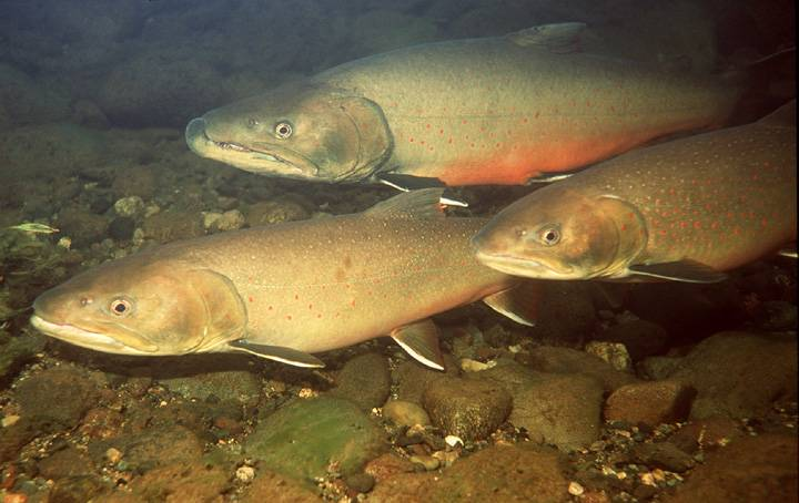 Swims fishes bull trout wallpaper
