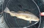 Tadpole cod fish