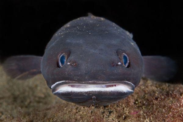 Tadpole fish looking at you wallpaper