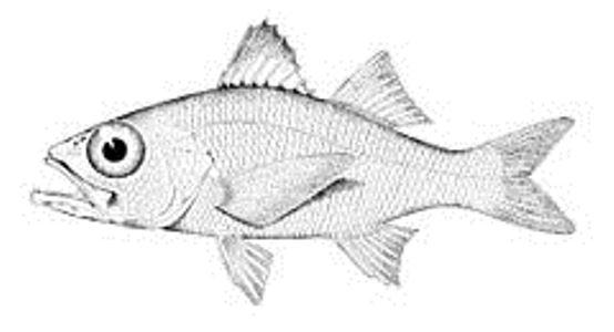 Temperate ocean-bass drawing wallpaper