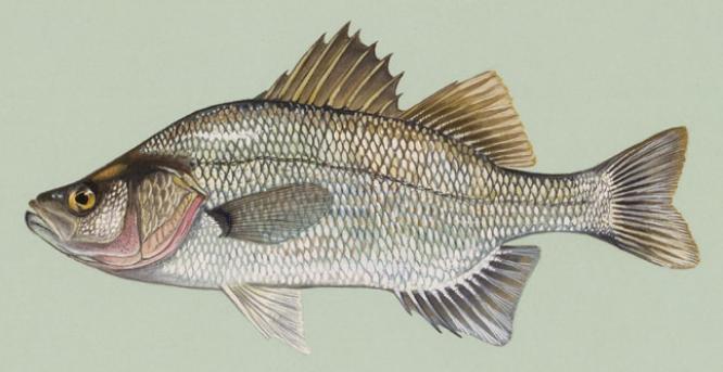 Нарисованная перцихтовая рыба фото
