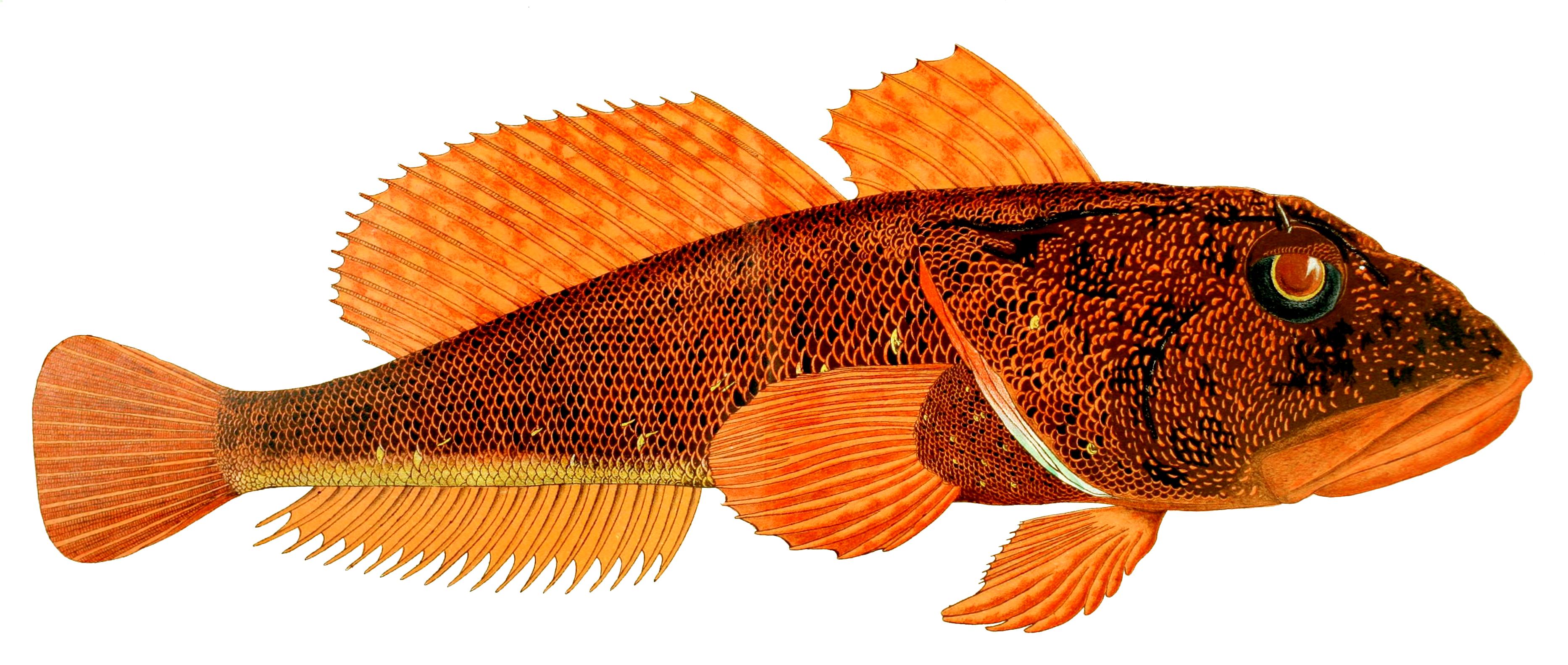 Thornfish wallpaper