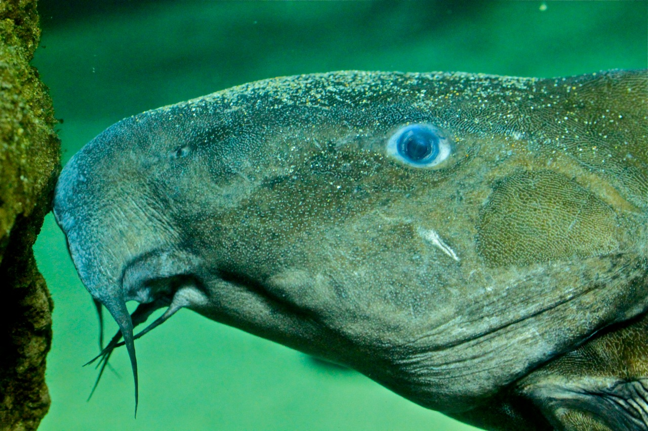 Thorny catfish head wallpaper