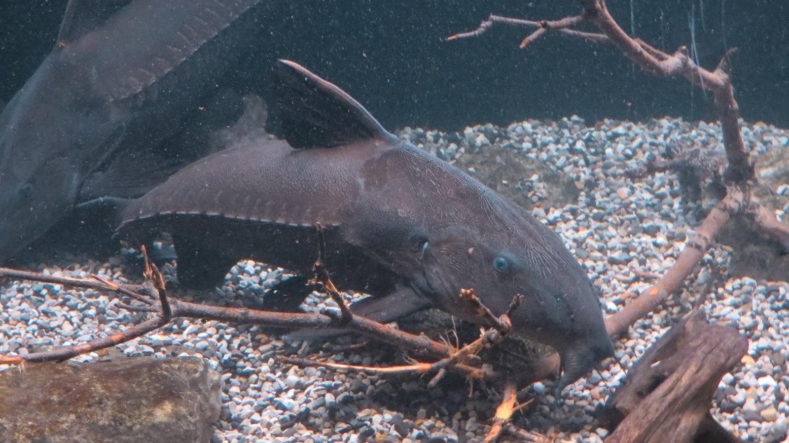 Thorny catfish in the aquarium wallpaper