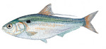 Threadfin drawing