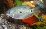 Three spot gourami in the aquarium