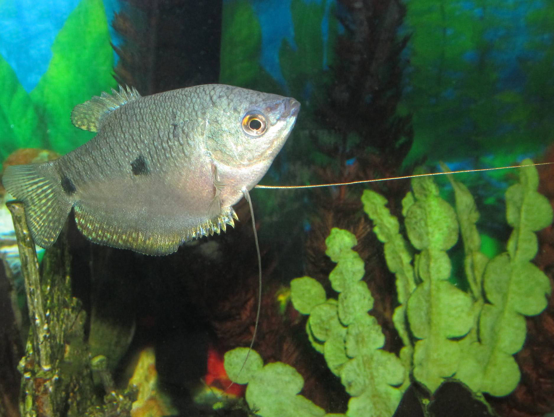 Three spot gourami wallpaper