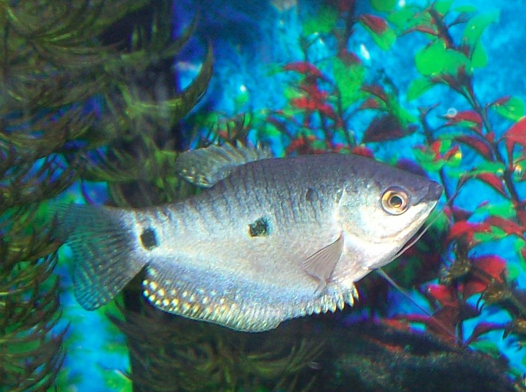Three spot gourami side view wallpaper