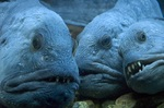 Three Wolffish
