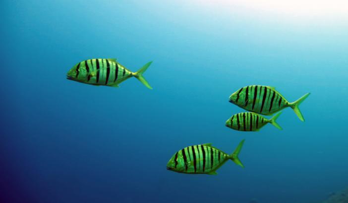 Три рыбы породы Желтый каранкс фото