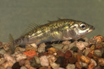 Threespine stickleback on the stones