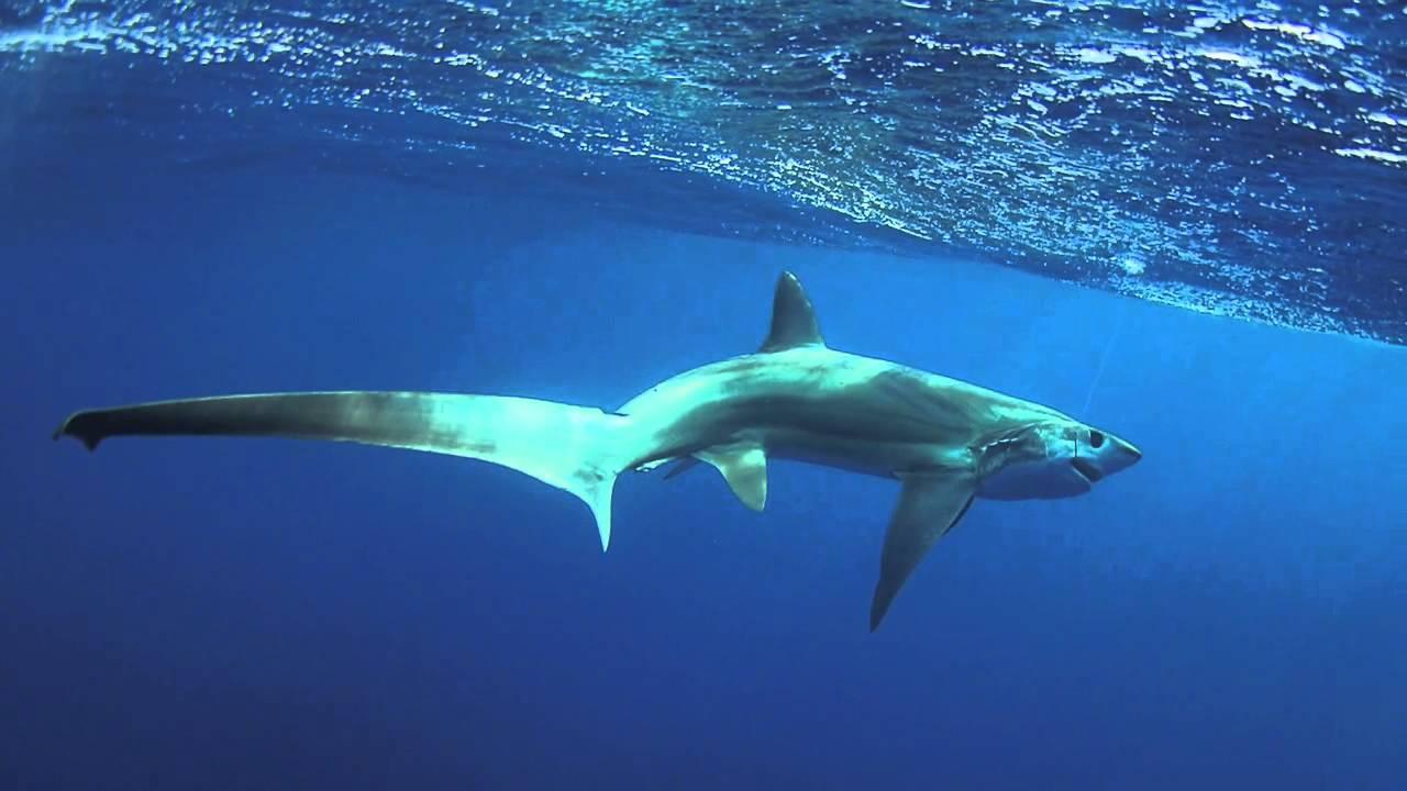 Thresher shark near the water surface wallpaper