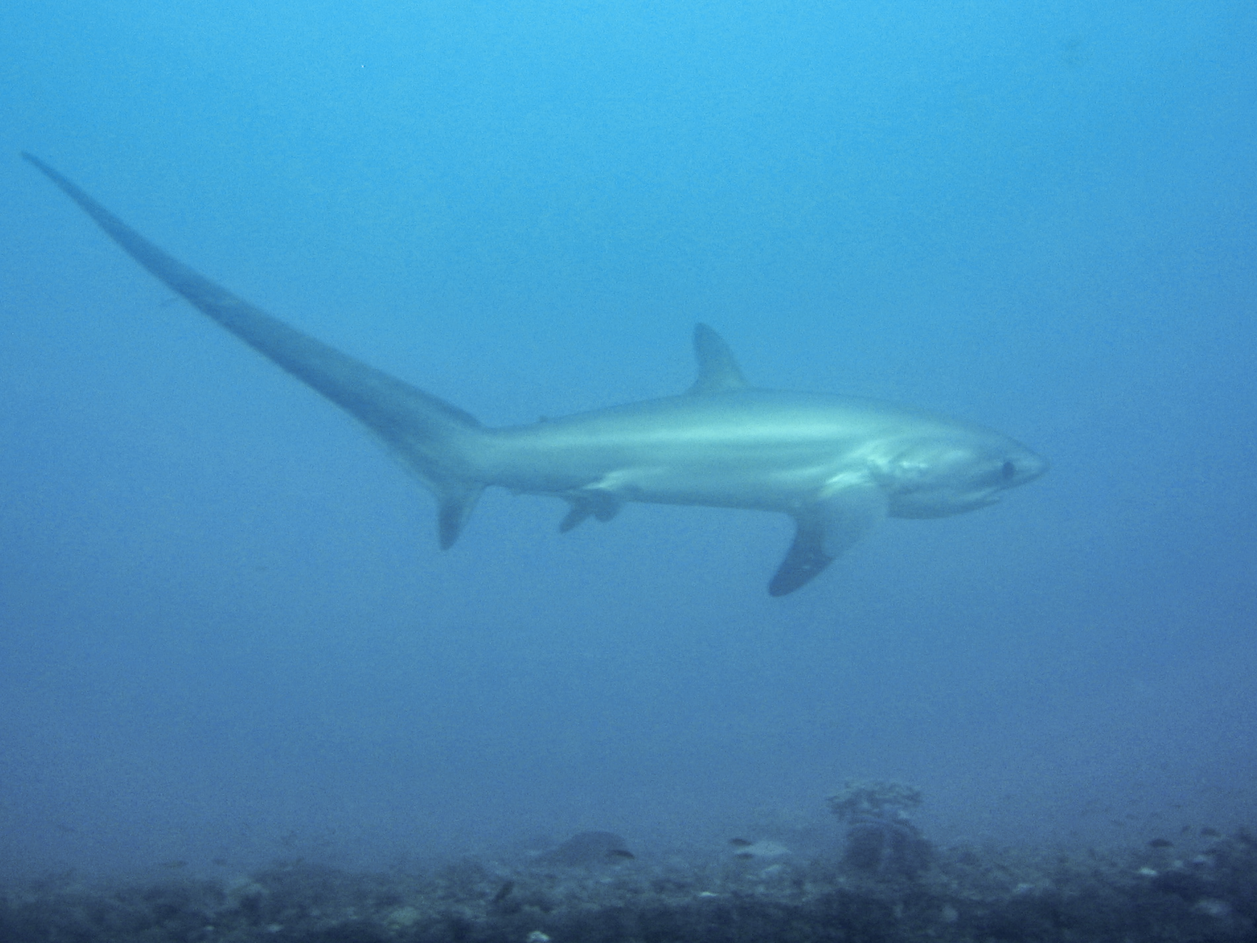 Thresher shark wallpaper
