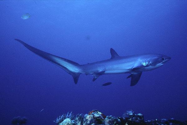 Thresher shark side view wallpaper