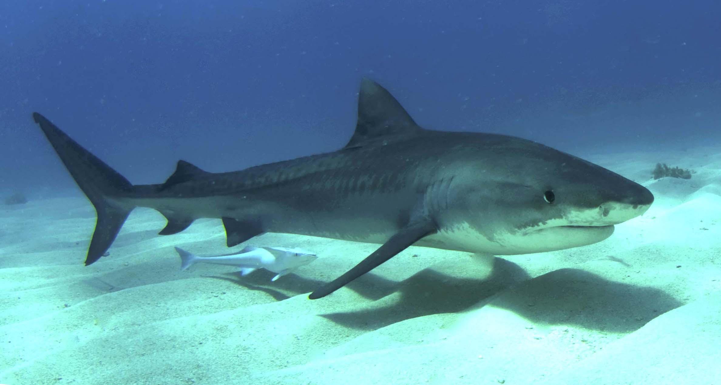 Тигровая акула возле дна фото