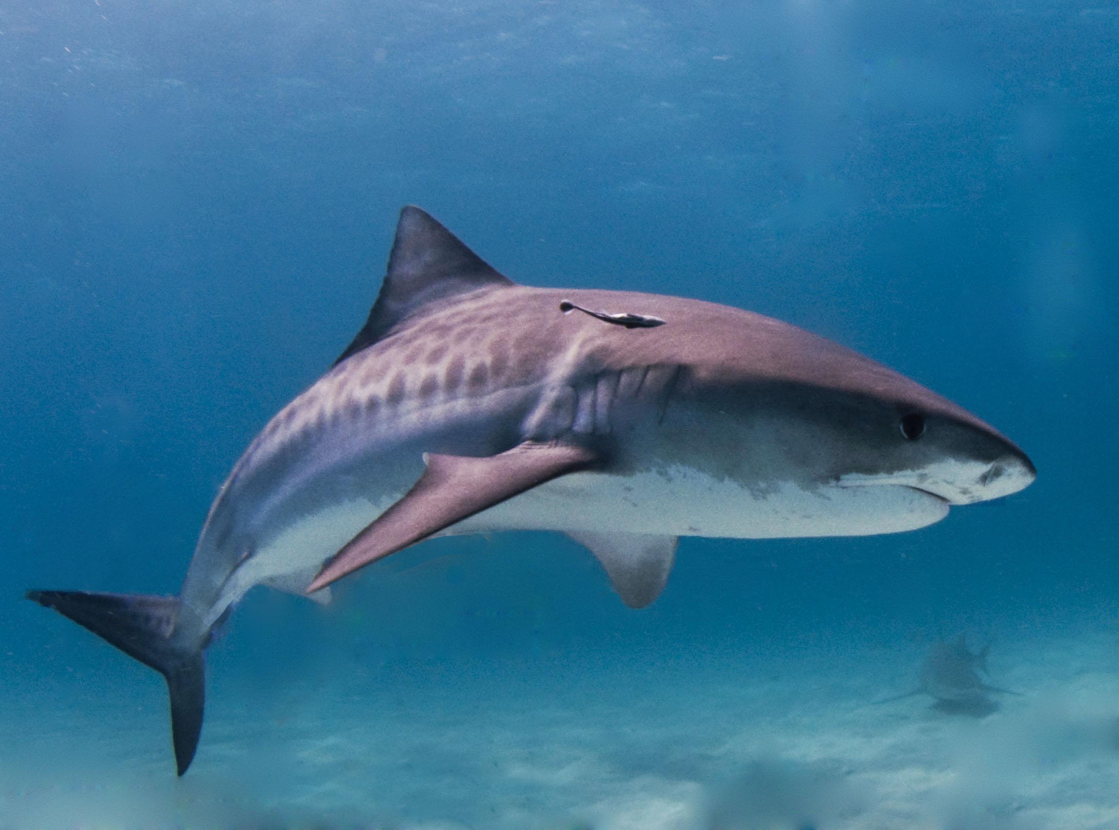 Tiger shark side view wallpaper