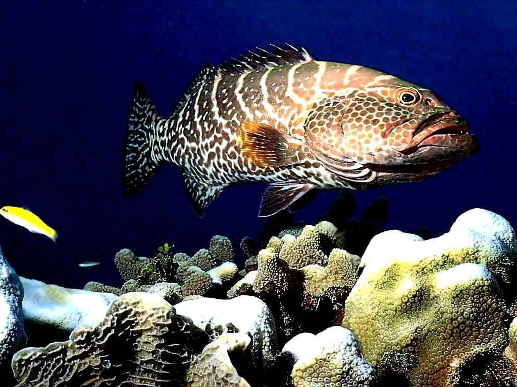 Tiger Yellowfin grouper wallpaper