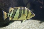 Tigerperch side view