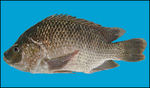 Tilapia blue background