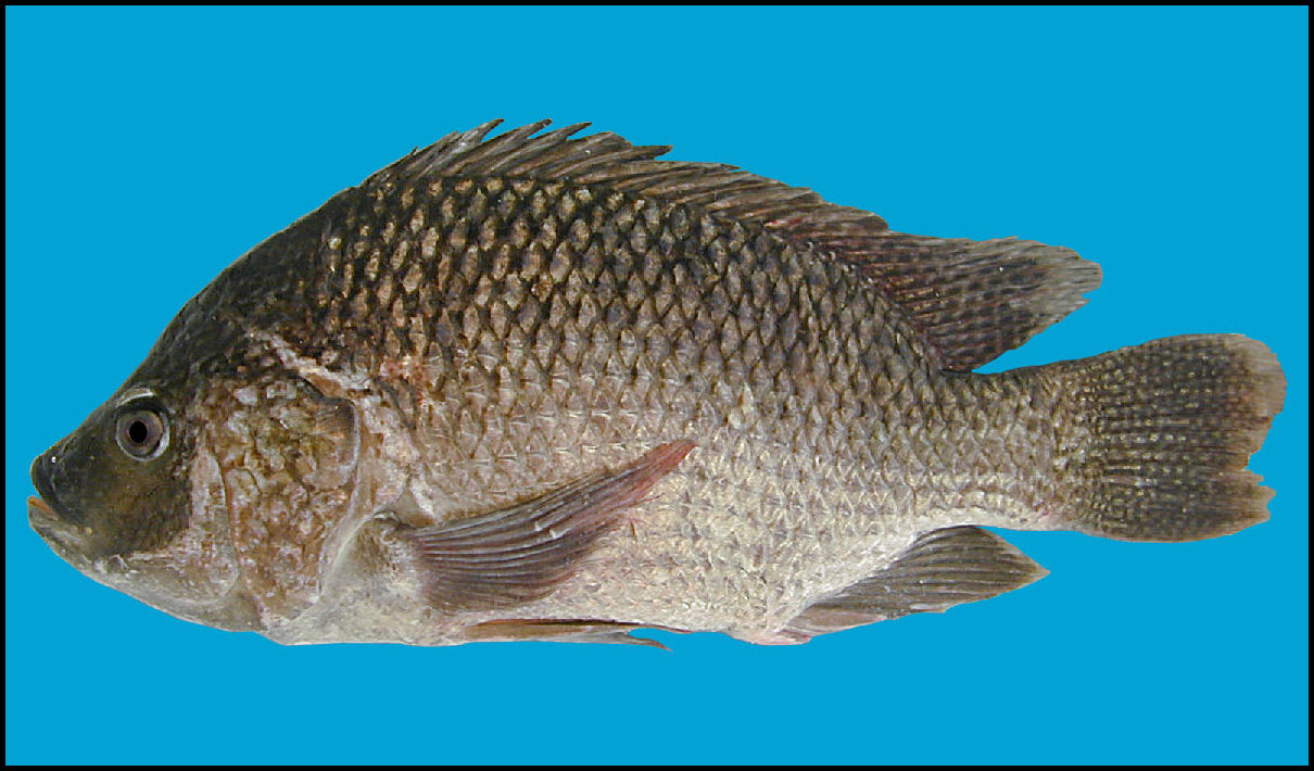 Tilapia blue background wallpaper