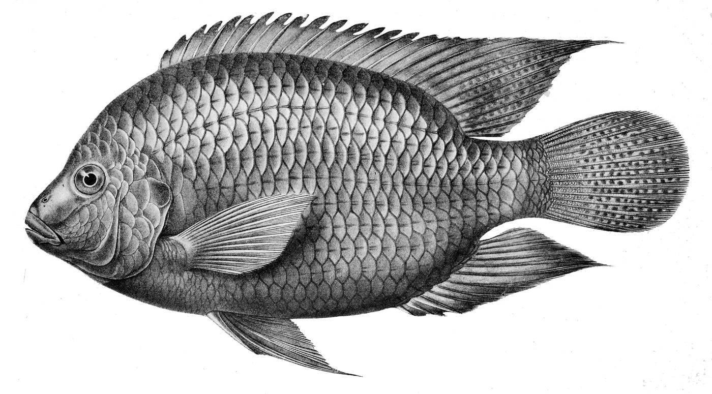 Tilapia Drawing Photo And Wallpaper. Cute Tilapia Drawing Pictures