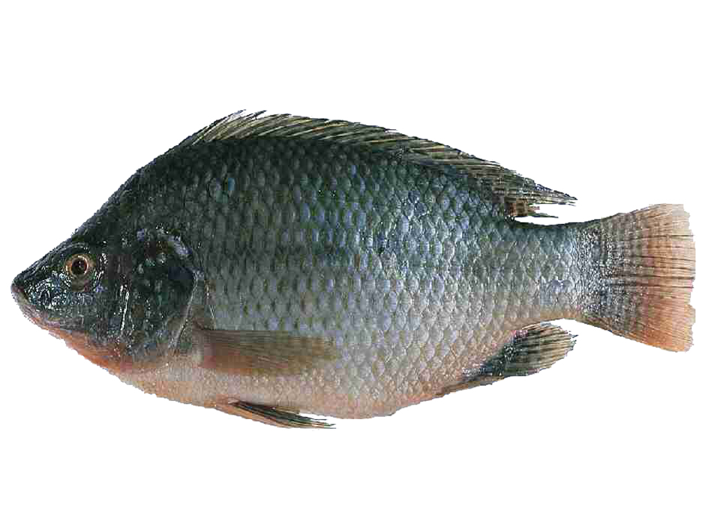 Tilapia portrait photo and wallpaper cute tilapia for How to make tilapia fish