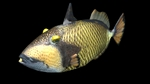 Titan triggerfish black background