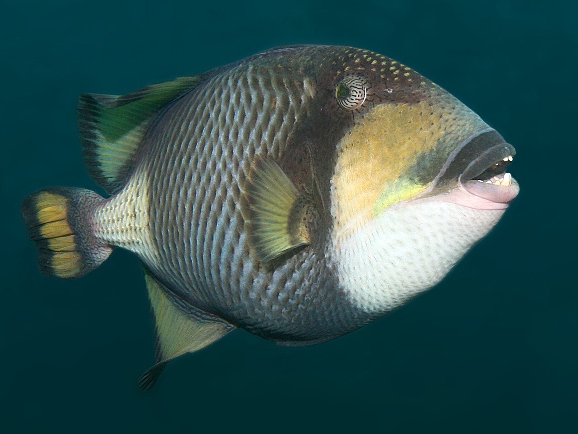 Titan triggerfish side view wallpaper