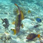 Titan triggerfishs