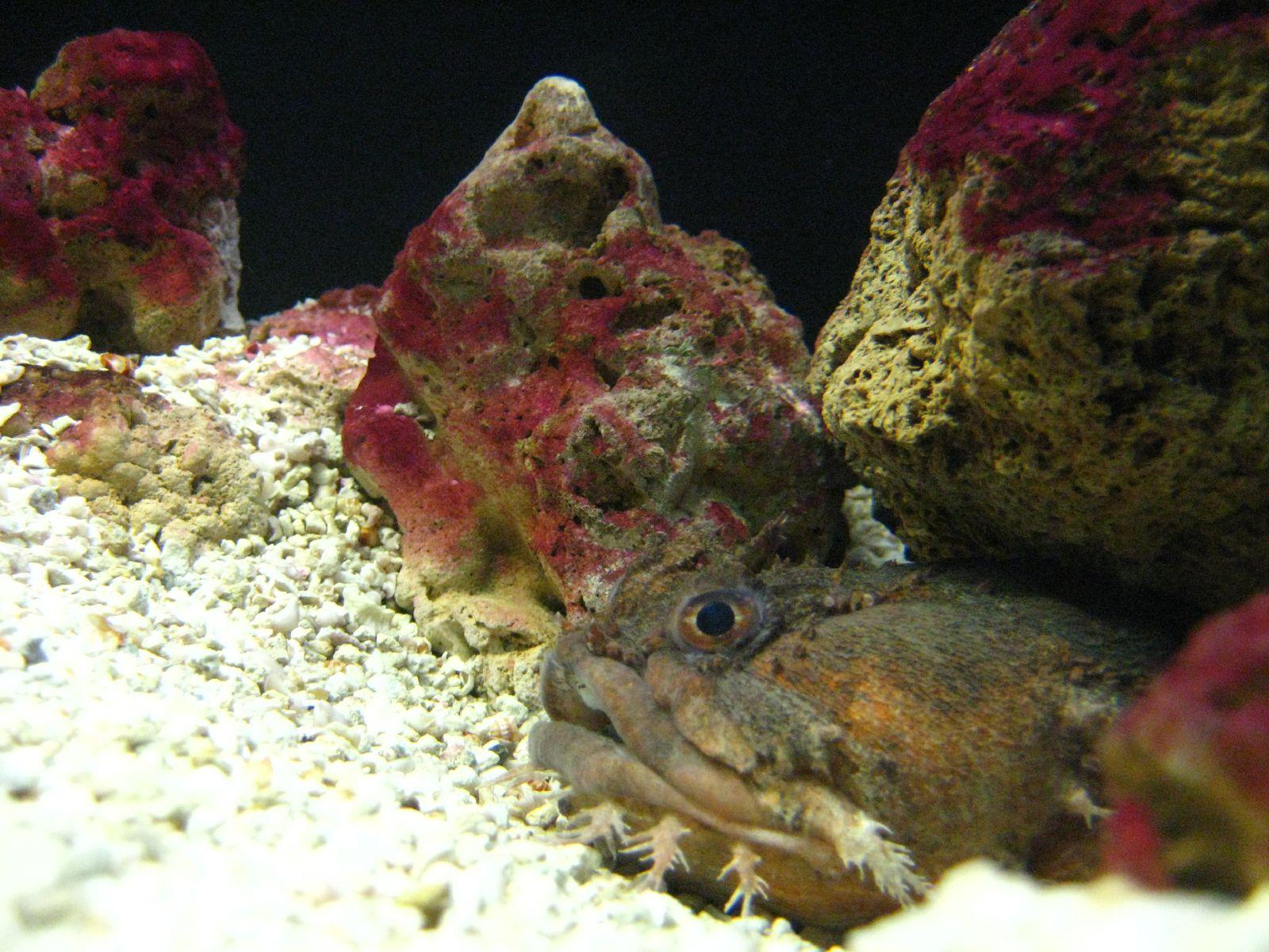 Рыба-жаба возле камней фото