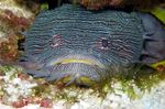 Toadfish watching at you
