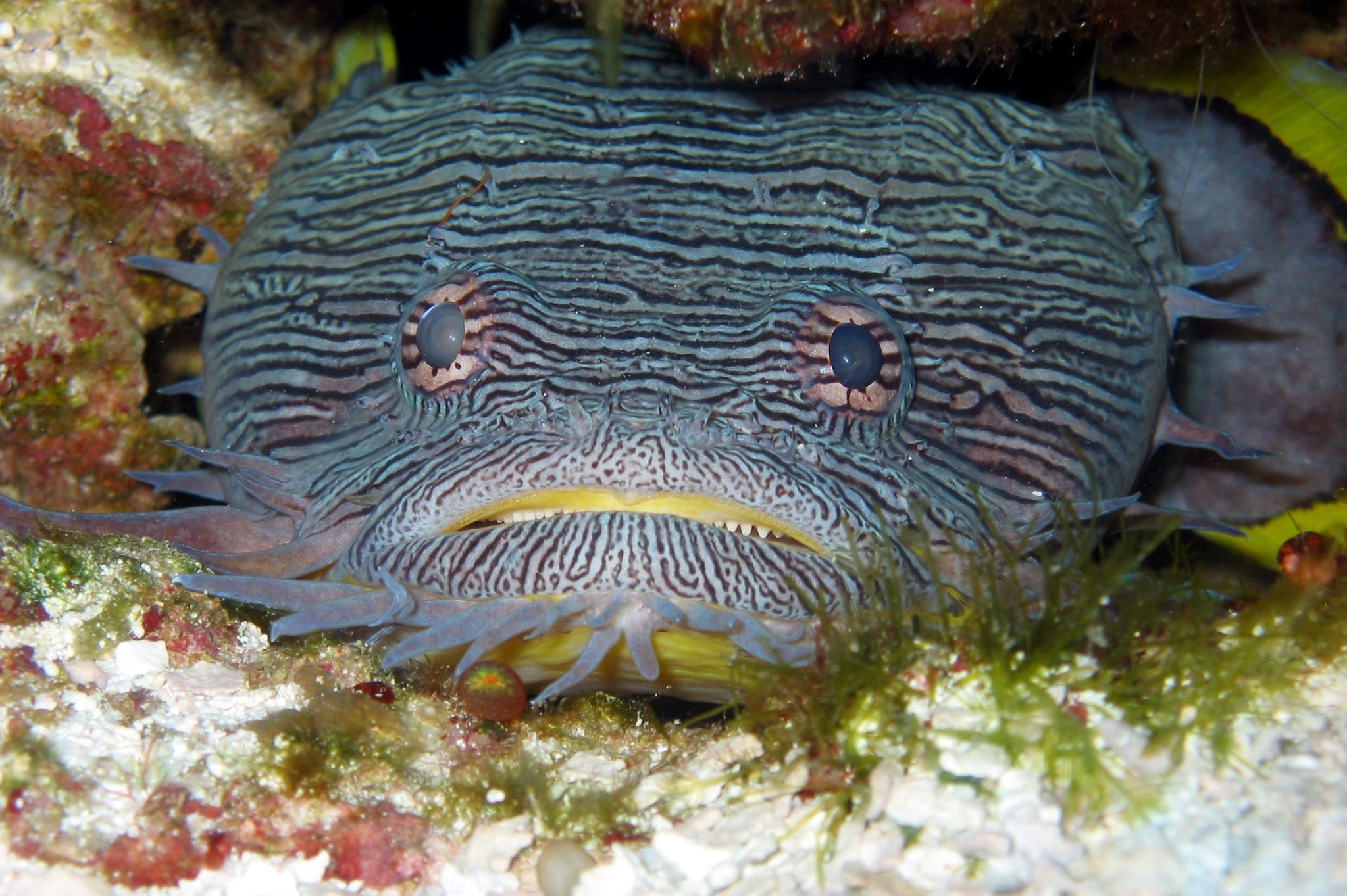 Toadfish watching at you wallpaper