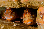Tompot blennies