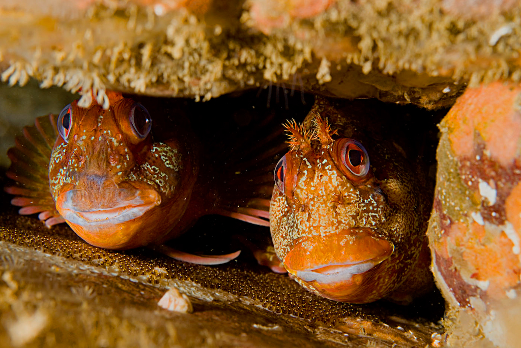 Tompot blennies wallpaper