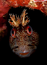 Tompot blenny in the cave